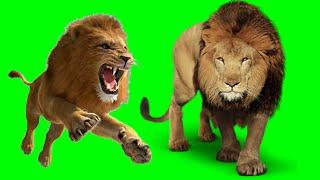 Green screen Lion