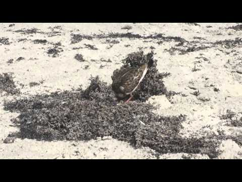 Ruddy Turnstone flipping seaweed in Cocoa Beach FL