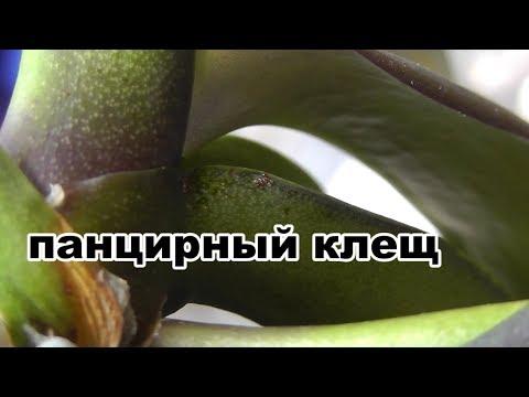 Панцирный клещ на фаленопсисе