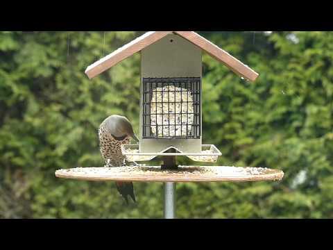 Northern Flicker At Birdfeeder