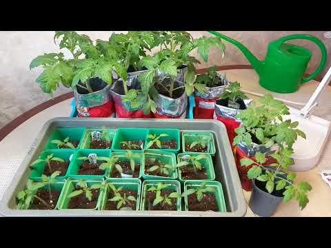 Чтобы не вытягивалась рассада томатов без пикировки - простые правила ухода и все тонкости
