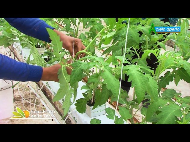 Puntata del 14/2/21 – 2° parte – Il pomodoro coltivato fuori suolo
