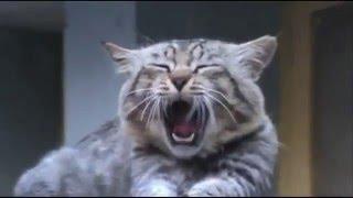 Смешные Зевающие Коты