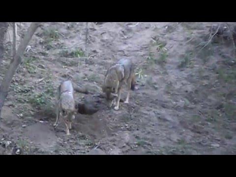 Griffith Park Wildlife