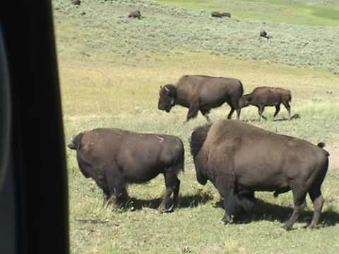 Yellowstone Bison poop