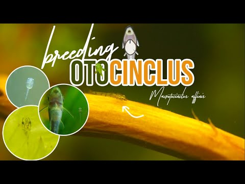 How To Breed Otocinclus Affinis: The Whole Process