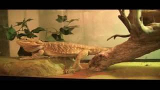 Rankins & Leatherback Bearded dragon update + cricket feeding.