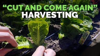 Maximize Harvesting Lettuce With The Cut and Come Again Method