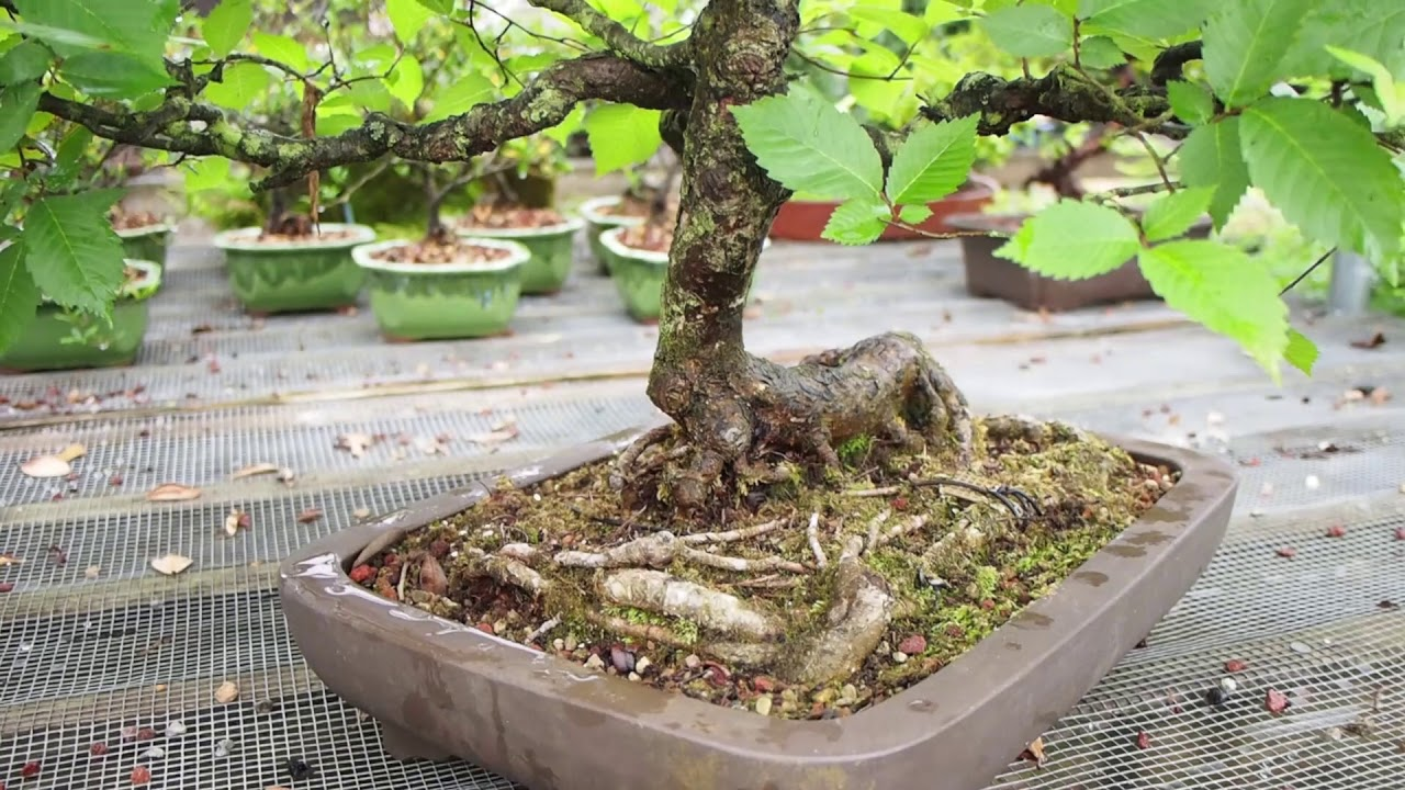 Plant City Bonsai Summer 2019 Please Read Full Description Youtube