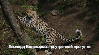 Леопард Великоросс на утренней прогулке