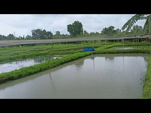 THIS FISH FARM IS PRODUCING THOUSANDS OF ORNAMENTAL FISH