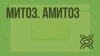Митоз. Амитоз. Видеоурок по биологии 10 класс