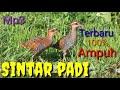 Ampuh Suara Pikat Burung Sintar Beker Terbaru  Mp3 - Mp4 Download
