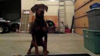 Henry Eating Raw Chicken, Red Doberman Floppy Ears & Docked Tail