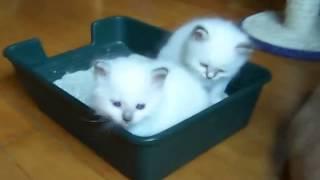 Милые белые котята
