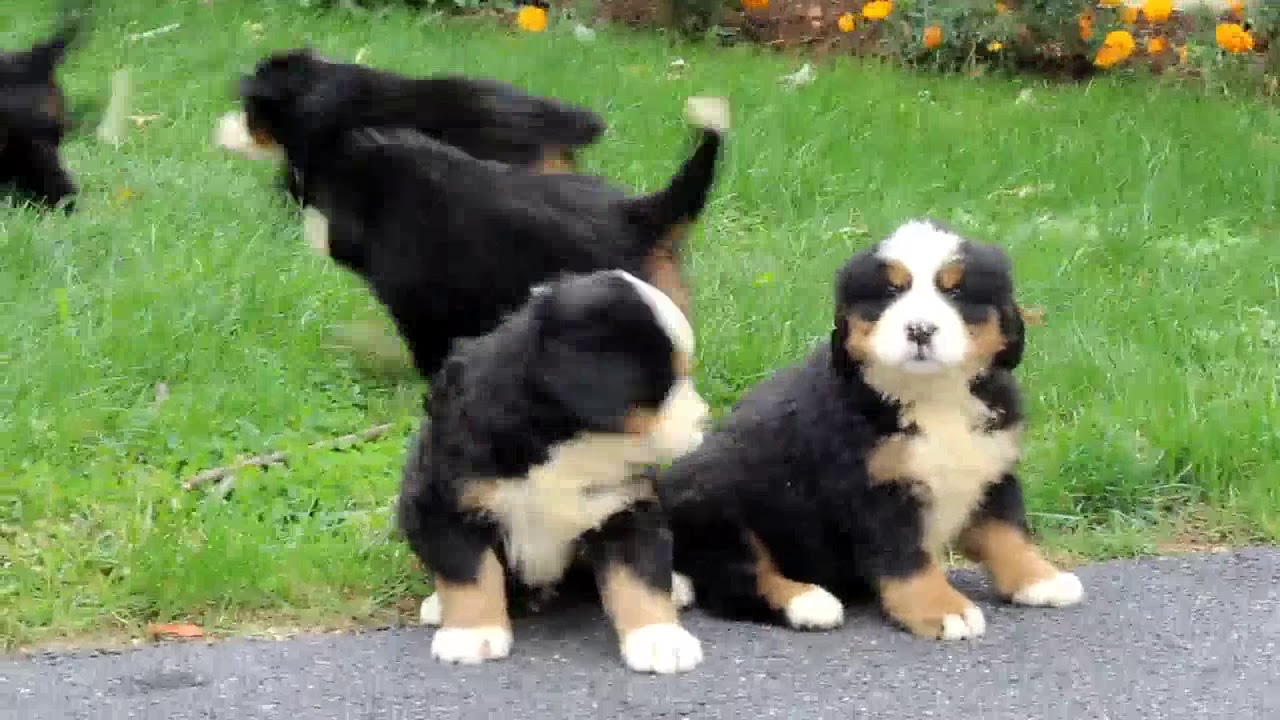 Bernese Mountain Dog Puppies For Sale Youtube