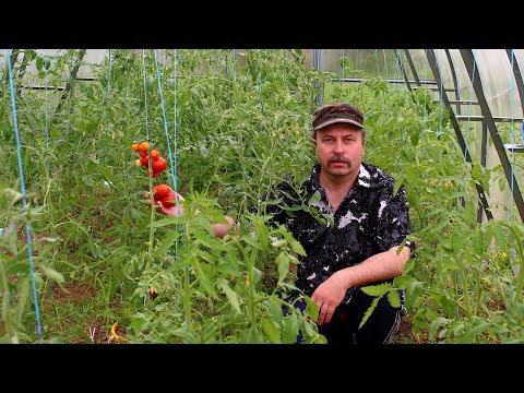 Созревание томатов. Первые июньские плоды