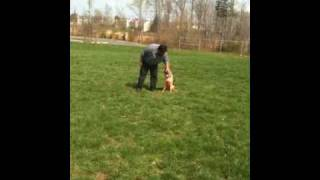 German Shepherd First Lesson: Off-leash K9 Training