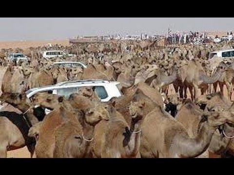 camel market  in jeddah,saudi Arabia 2016
