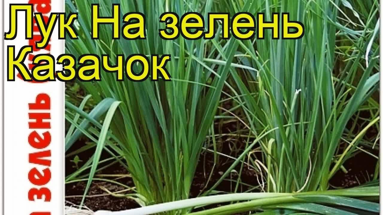лук казачок кявар купить семена
