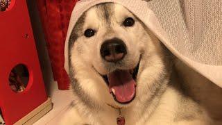 本人なりのこだわりがあるんでしょう。 シベリアンハスキー犬の文太です...