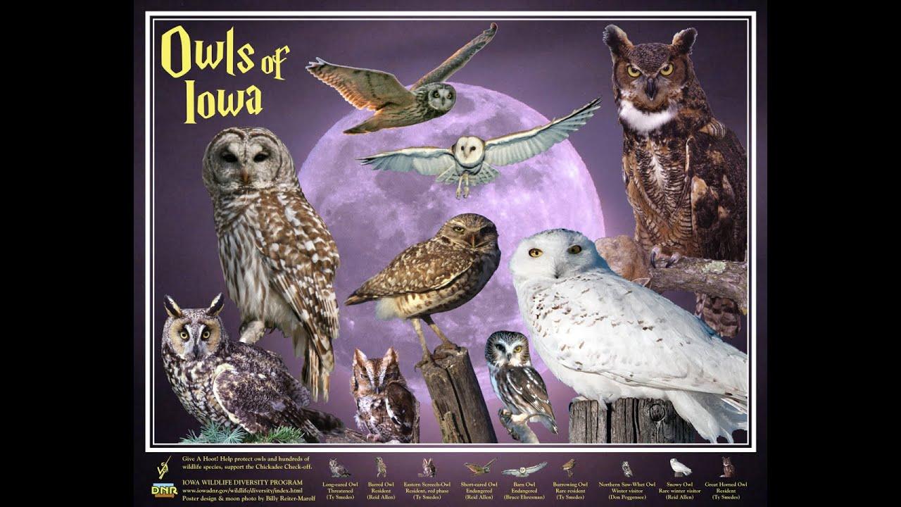 Owls in my backyard in iowa - YouTube