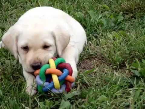 6 Weeks Old Labrador Puppies