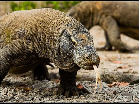 Amazing Facts About Komodo Dragons