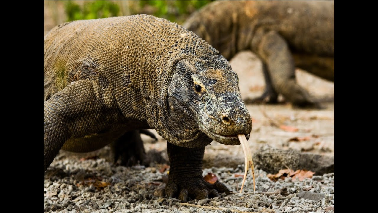 Amazing Facts About Komodo Dragons - YouTube