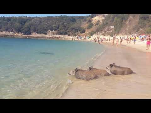 Arrábida - javalis na praia dos galapos