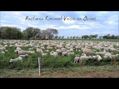 OVINOS EN PASTOREO DOWNLOAD