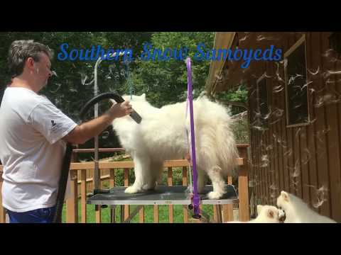 Samoyed Shedding Coat