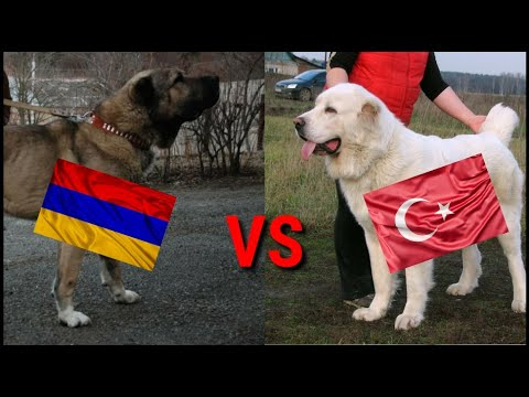 🇦🇲Гампр VS  🇹🇷Алабая. армянский гампр🇦🇲  против  Турецкого Алабая 🇹🇷!!! гампр🇦🇲 против  алабая 🇹🇷