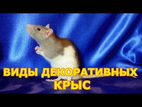 Вопрос: Что любит крыса Крыса и мышь отличаются?