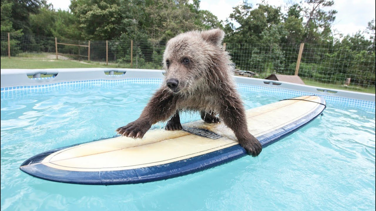 Cute Baby Bear Rides Surfboard Youtube
