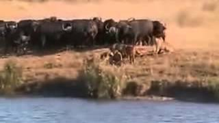 LION Vs CROCODILE Vs BUFFALO FIGHT TO DEATH!!!
