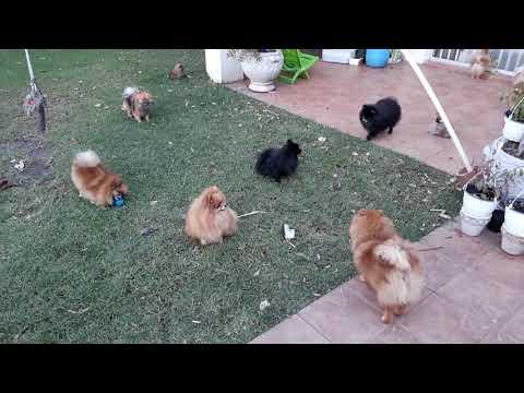 Toy Pom Pomeranian Regalo