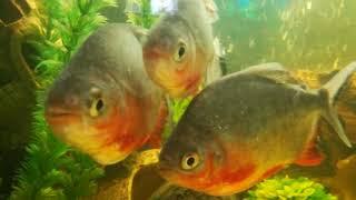Пираньи в Аквариуме Рыбки