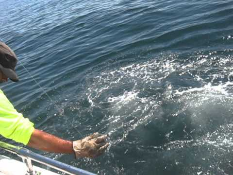 St. Andrews Sport Fishing Co.- St. Andrews, New Brunswick - Porbeagle Shark Fishing