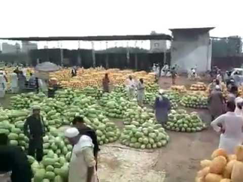 Giant Pakistani Mangoes unbelievable size
