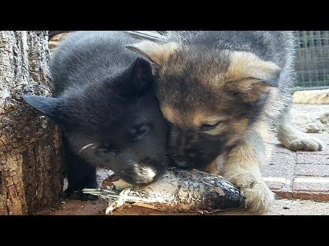 Puppies Swallow Fish Bones!!! Lycan & Bulldogge Mukbang (2 Of 2)