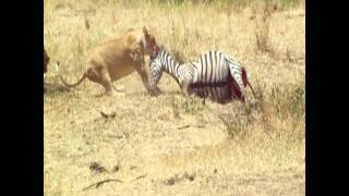 Lion drags bloated zebra carcass to shade