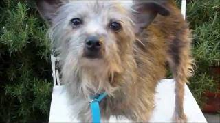 Mamie-miniature-schnauzer-terrier-x-adoptable-ken-mar-rescue