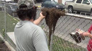 Crazy Bee Man Handles A Swarm Of Bees Barehanded!