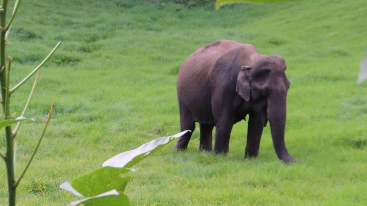 Munnar wild elephant  at Mattupetty