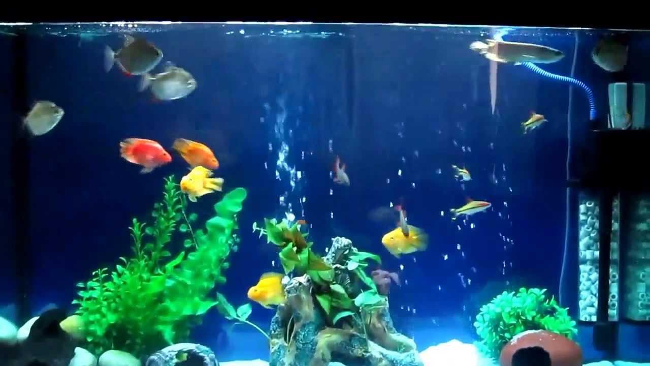 Freshwater aquarium fish rainbow shark - Arowana Parrot Fish Silver Dollar Fish Rainbow Shark And Miss Kerala Fish