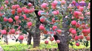 天然蘋果醋 好醋多多 健康好夥伴.專治關節痛.高血壓...