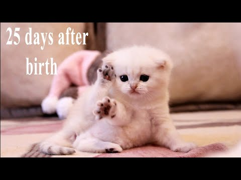 ✔️ 25 Days After Birth | Funny British kitten | Bites and plays with his mom
