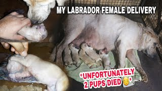 My Labrador Female Delivery | Labrador Female Giving Birth To Puppies | Dog Delivery at Home
