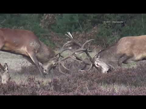Hoge Veluwe Burlende herten / bronsttijd 2017